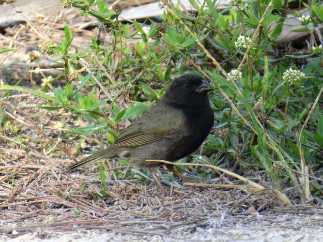Black-faced Grassquit (Photo by Carolyn Wardle)
