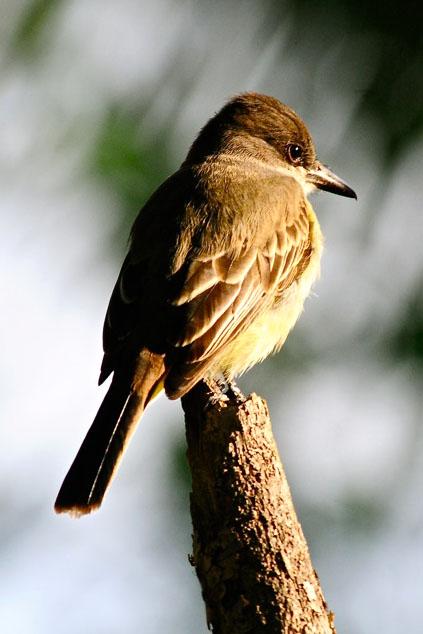 Loggerhead Kingbird (Photo by Tony Hepburn)