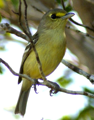 Thick-billed Vireo (Photo by Linda Huber)