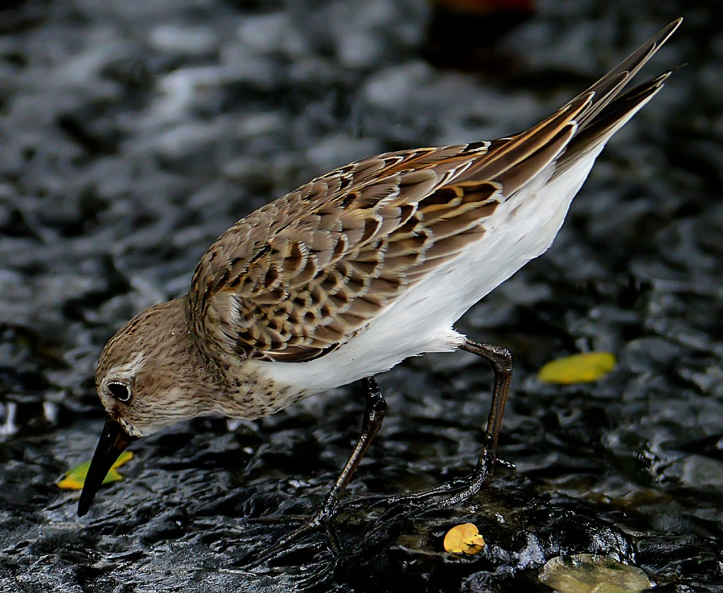 White-rumped sandpiper (Calidris fuscicollis), Grenada, by Ted Lee Eubanks