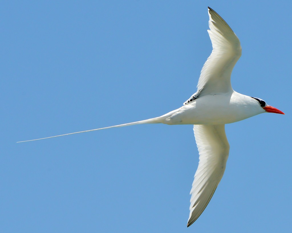Red-billed tropicbird, Antigua, by Ted Lee Eubanks