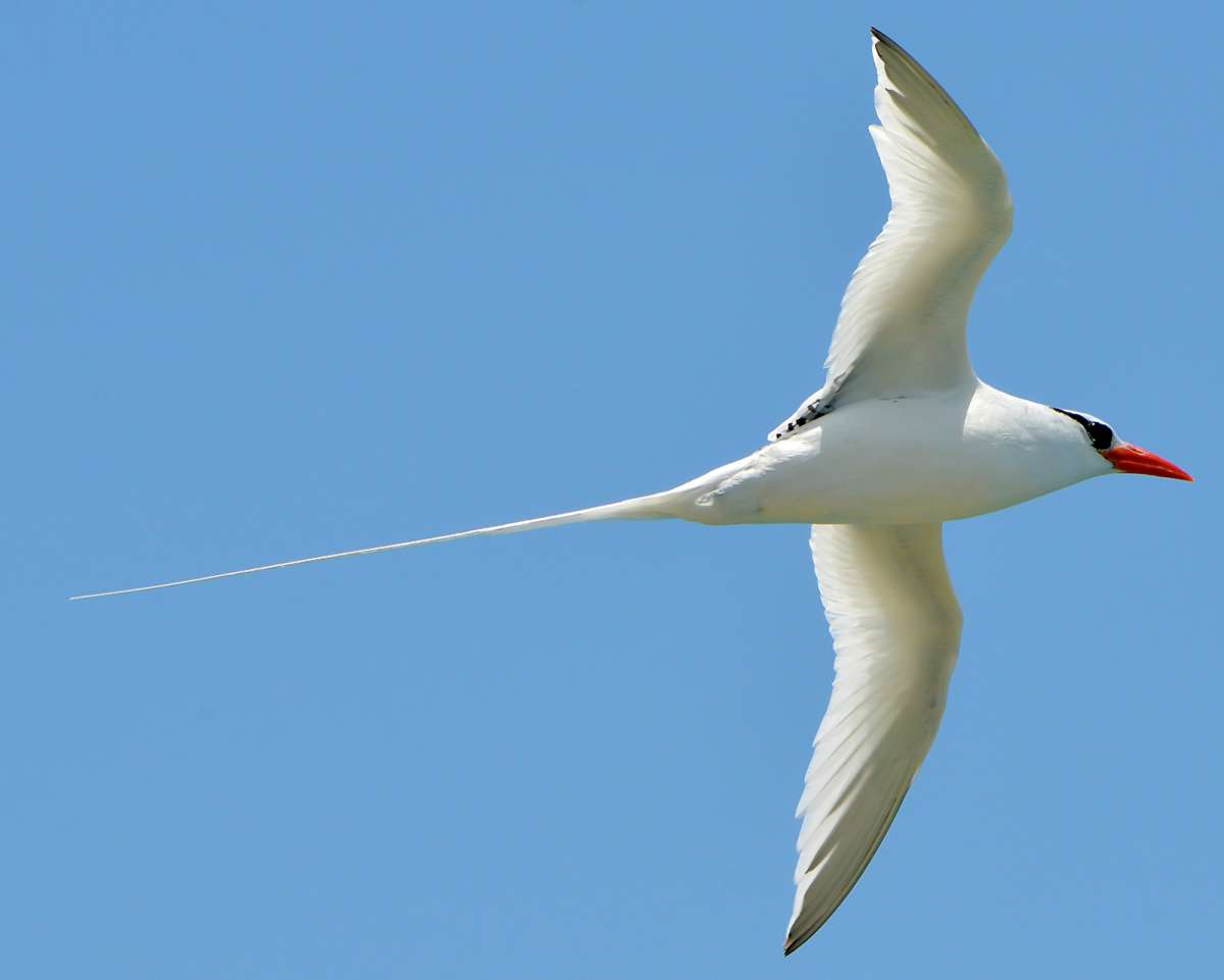 Red-billed tropicbird,
