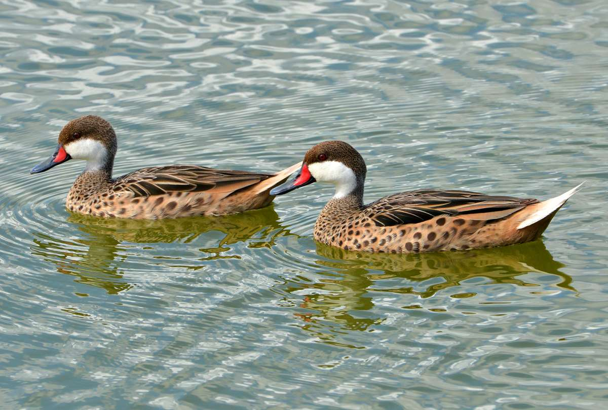 White-cheeked pintail, McKinnon's Pond, Antigua, by Ted Lee Eubanks