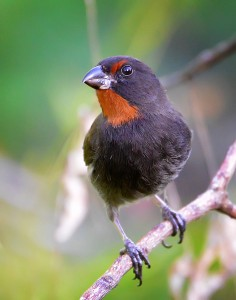 Lesser Antillean Bullfinch, a species endemic to the Lesser Antillean region