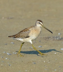 Juvenile Short billed Dowitcher, by Ted Eubanks