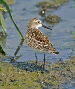 Western Sandpiper, by Ted Eubanks
