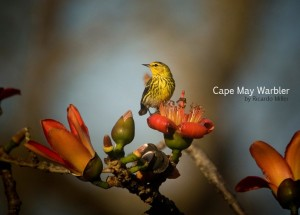 Cape May Warbler, a neotropical migrant. By Ricardo Miller.
