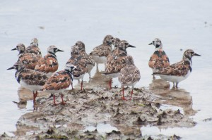 Ruddy Turnstones feeding at the wetland in Etang de la Barriere
