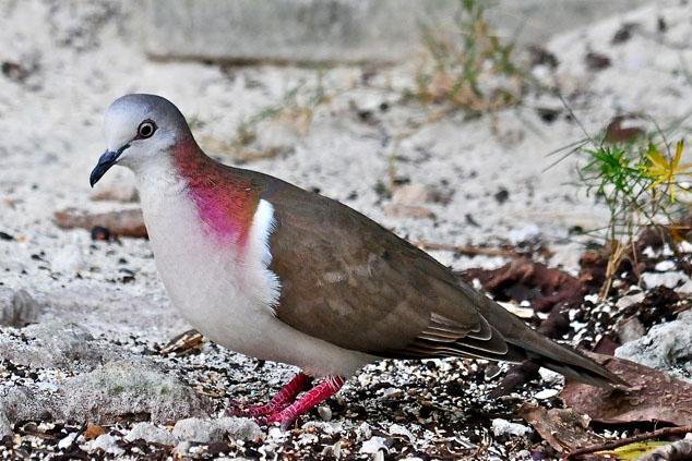 Caribbean Dove (Photo by Tony Hepburn)