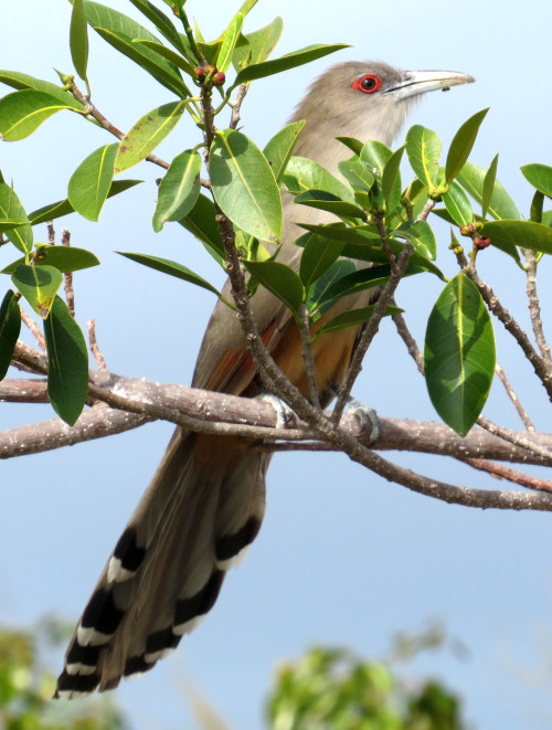 Great Lizard-Cuckoo (Photo by Carolyn Wardle)