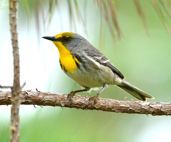 Oliver-capped Warbler (Photo by Brian Stech)