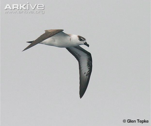 Black-capped Petrel. Glen Tepke, Arkive.