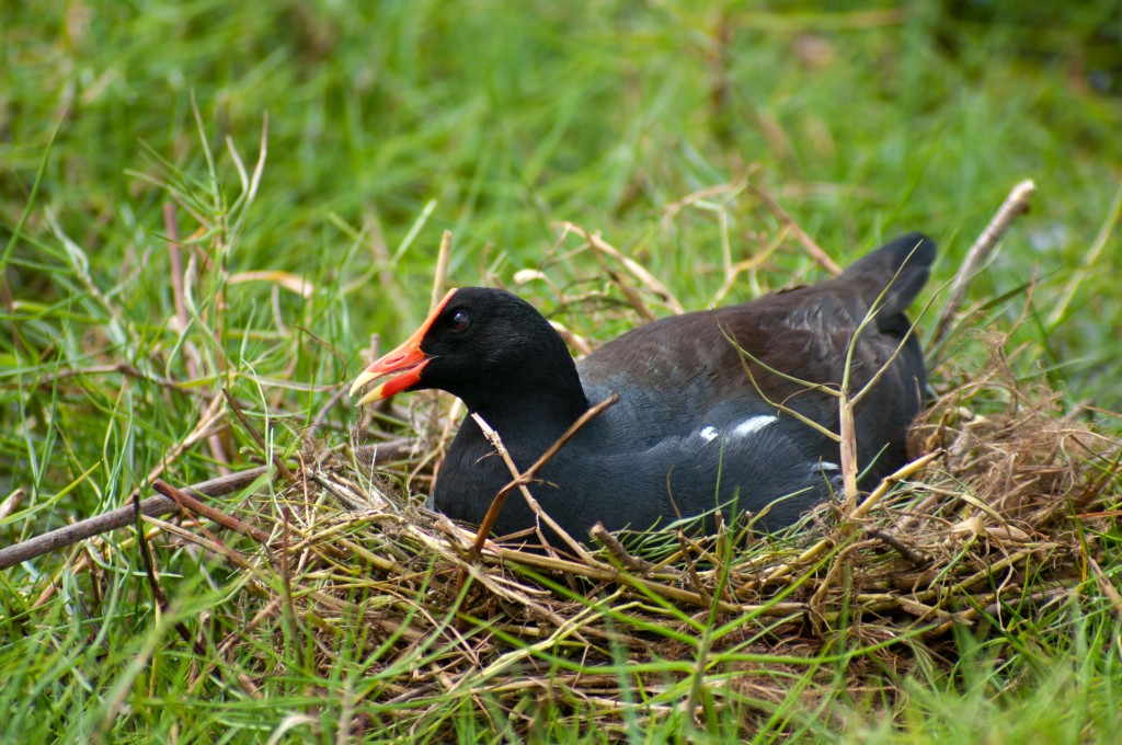 common-gallinule-nesting