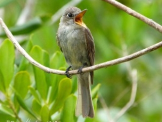 Cubna Pewee on Abaco at Rolling Harbour