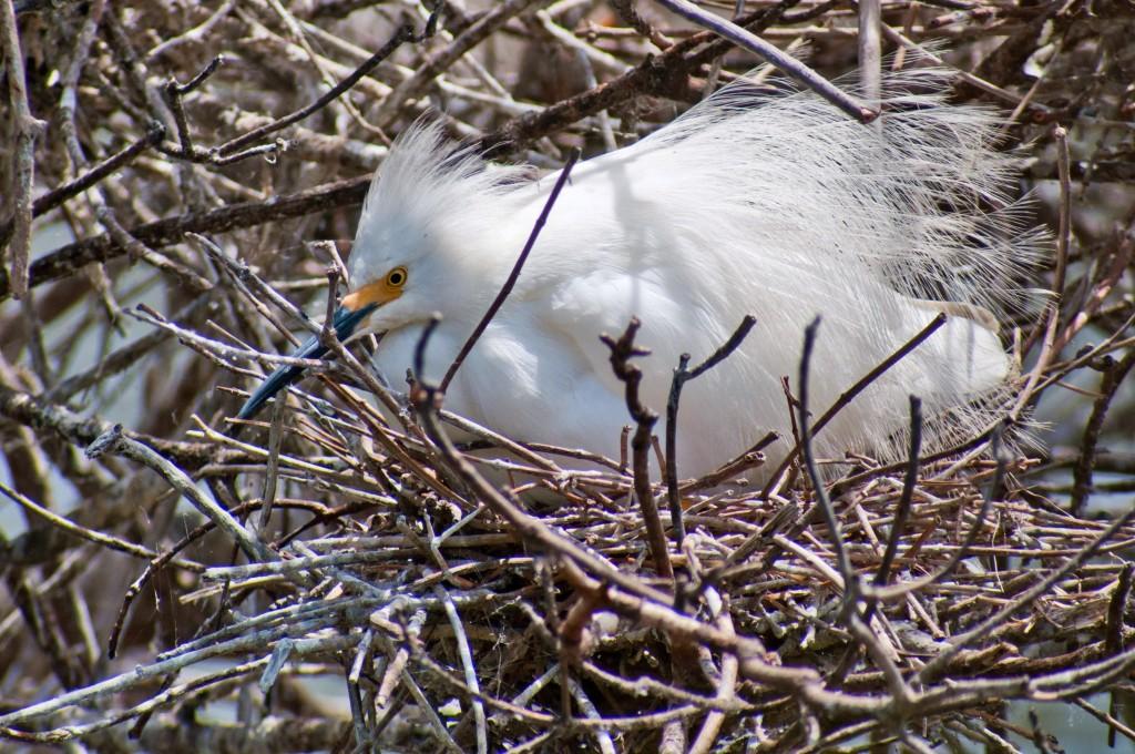snowy-egret-nesting