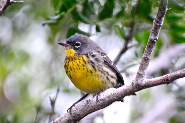 Kirtland's Warbler (Photo by Tony Hepburn