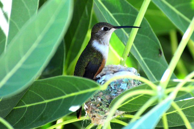 Female Bahama Woodstar on Nest (Photo by Tony Hepburn)