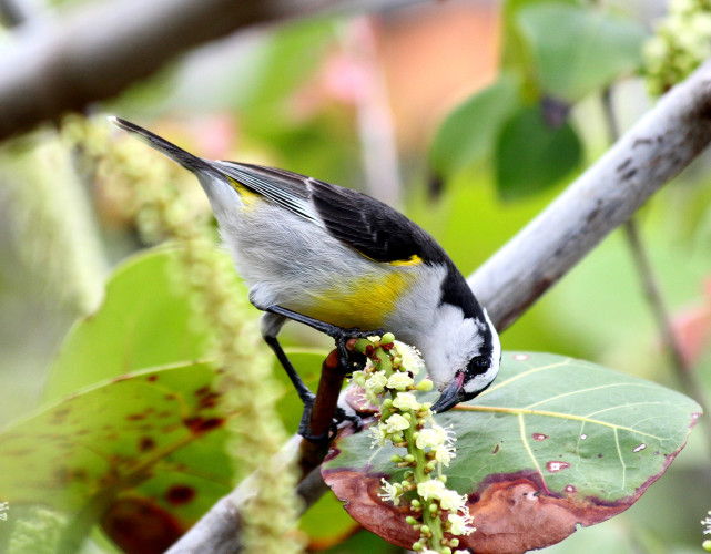 Bananaquit (Photo by Grace Johnson)