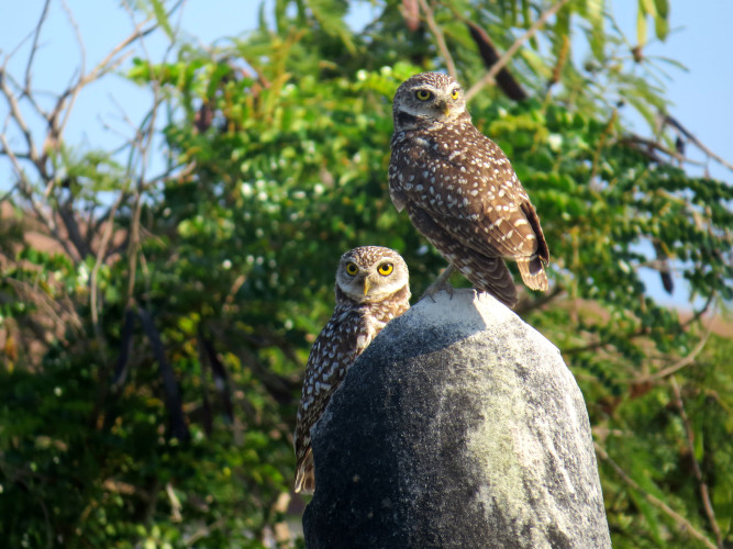 Burrowing Owls in Matthew Town (Photo by Carolyn Wardle)