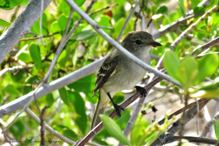 Caribbean Elaenia - West End By-the-Sea Ponds Anguilla, BWI