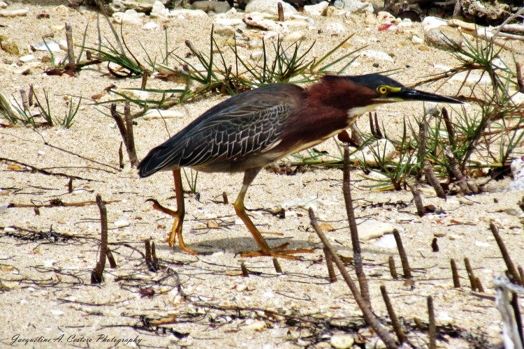 Green Heron (Photo by Jacqueline A. Cestero)