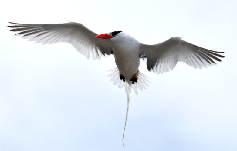Red-billed Tropicbird (Photo by Hannah Madden)