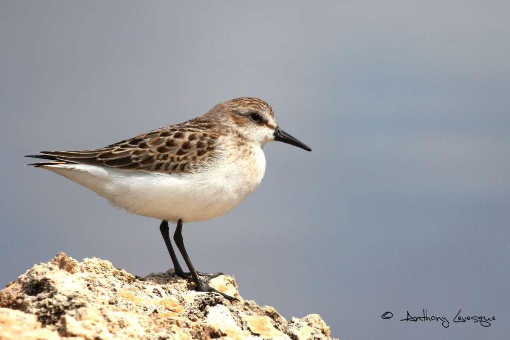 The Semipalmated Sandpiper is the most abundant shorebird during the fall