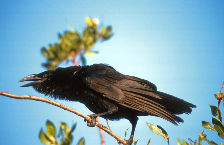 Cuban Crow (Photo by Dr. Mike Pienkowski)