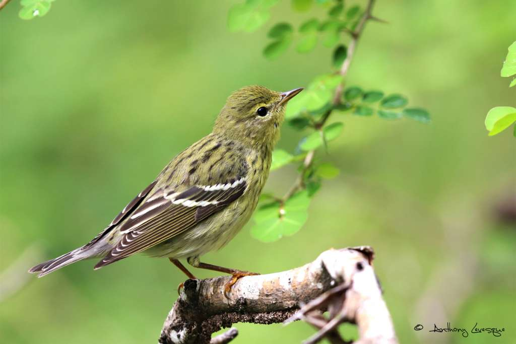 Blackpoll Warblers migrating by the hundreds at Pointe des Châteaux produced an incredible spectacle during Guadeloupe's first International Migratory Bird Day (IMBD)