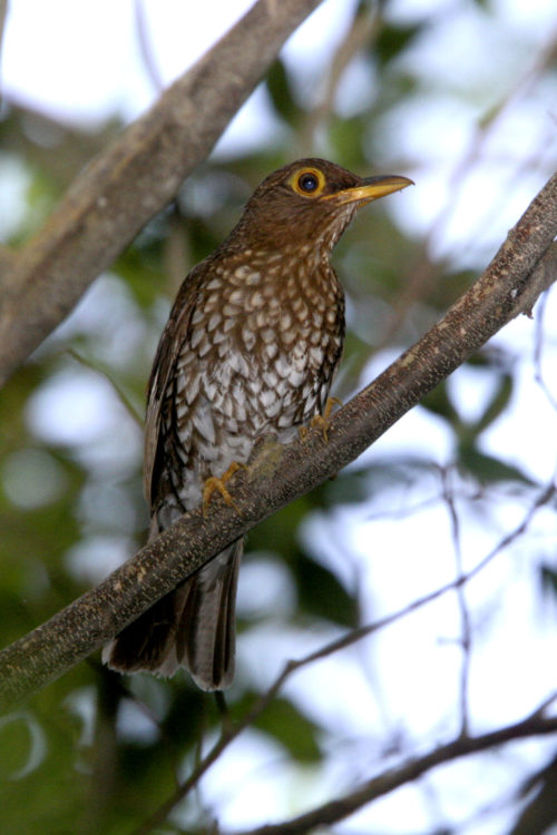 Forest Thrush, endemic sub-species (Photo by Dr. Mike Pienkowski)