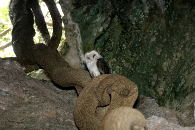 Cave Owl (Photo by __________________)