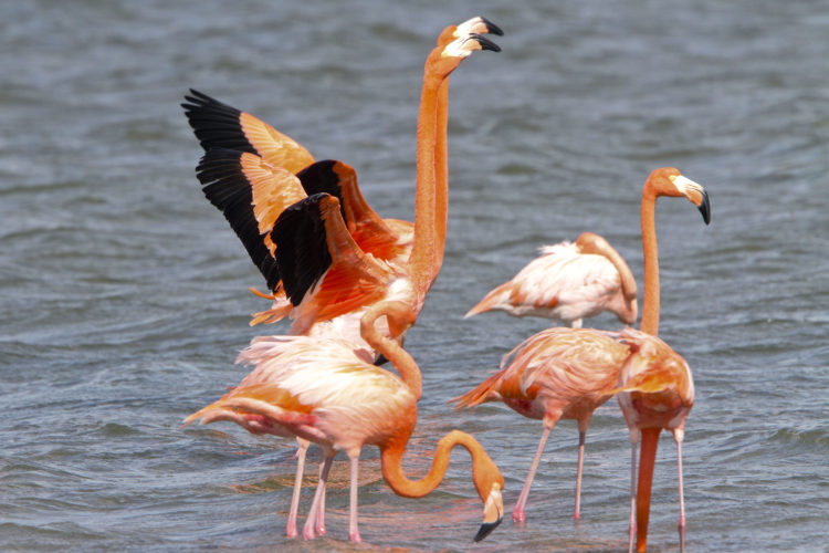 Flamingos can normally be seen at close range if you approach quietly and calmly (Photo by Dr. Mike Pienkowski)