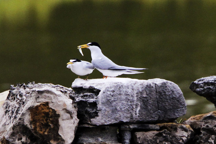 Least Tern Pair (Photo by Dr. Mike Pienkowski)