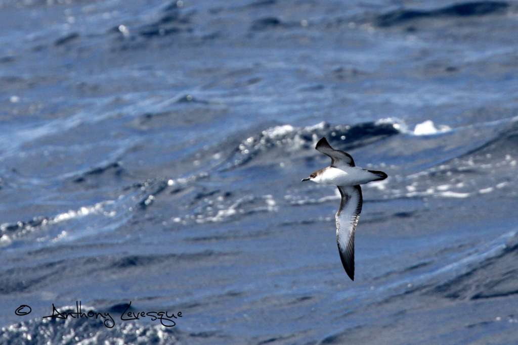 Pointe des Châteaux is by far the best site in the Caribbean for a sea watch session, Manx's Shearwaters pass here by the thousands each year