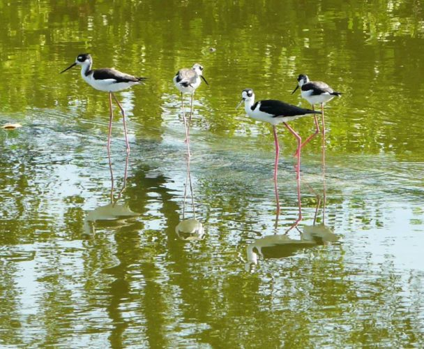 Black-necked Stilts (Photo by Seagrape Tours)