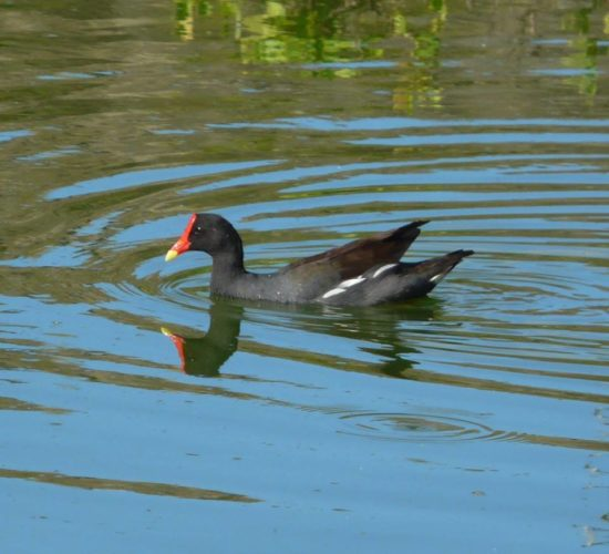 Common Gallinule (Photo by Seagrape Tours)