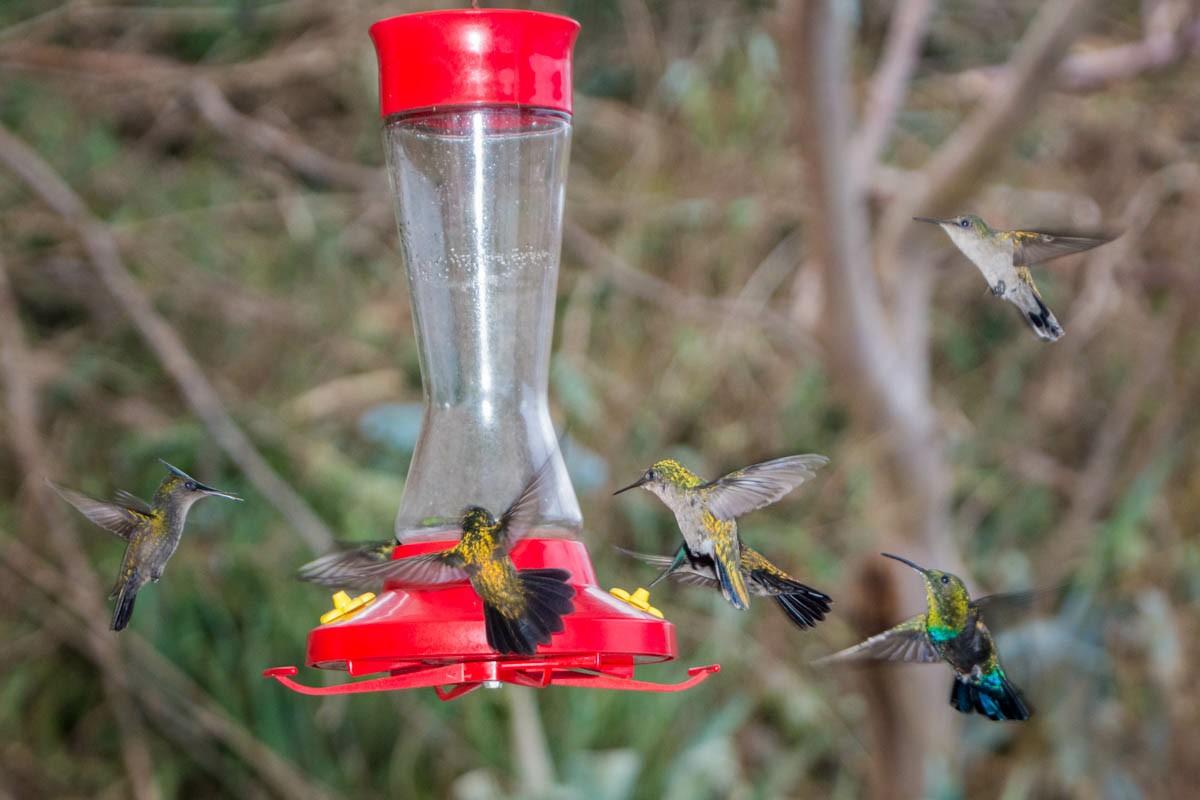 Antillean Crested Hummingbirds