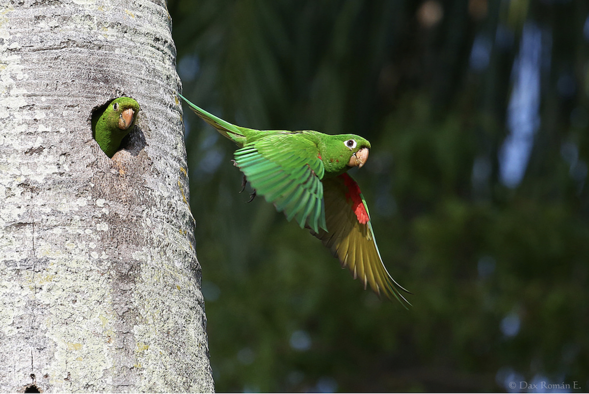 Hispaniolan Parakeet in flight at nest by Dax Roman