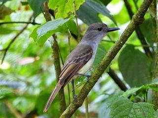 Lesser Antillean Flycatcher
