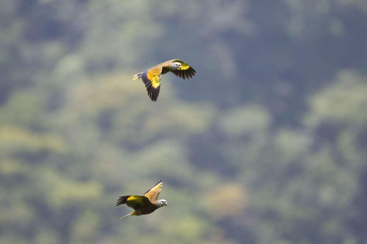 St. Vincent Parrots
