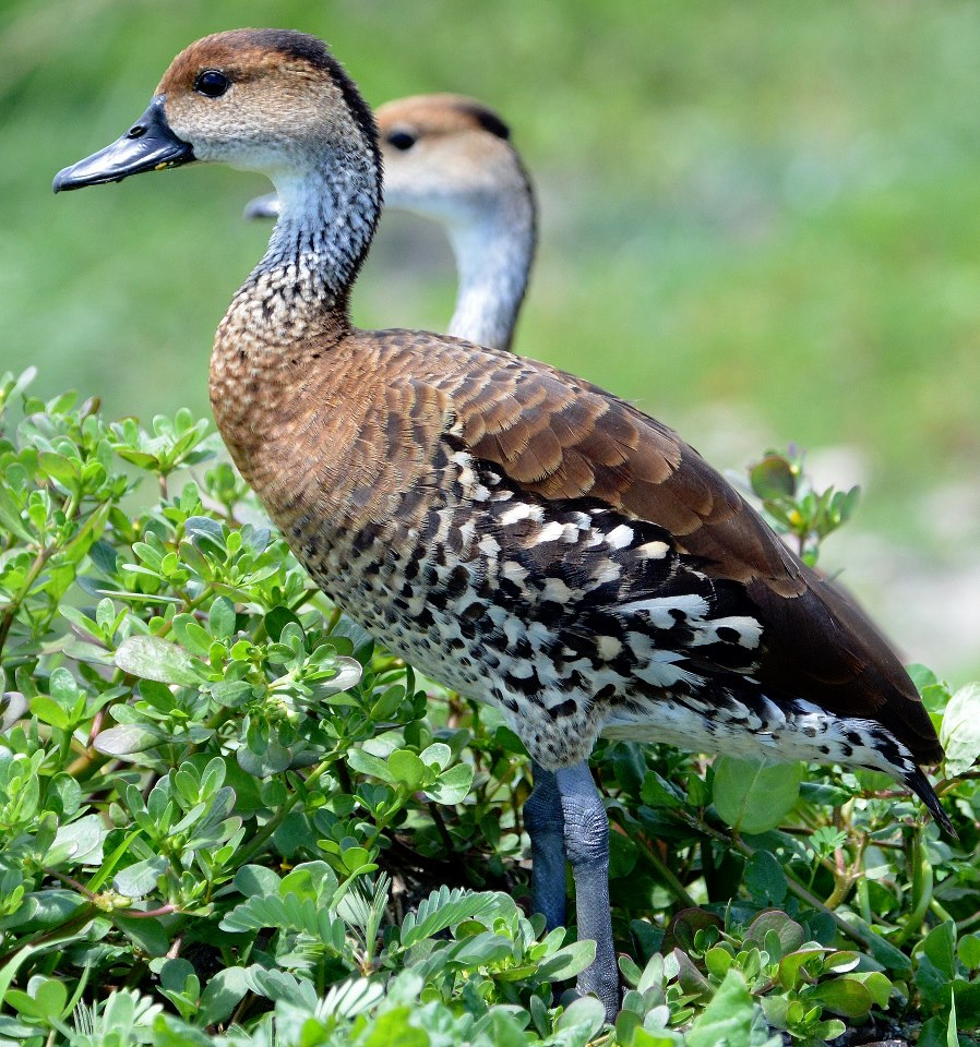 West Indian Whistling Ducks