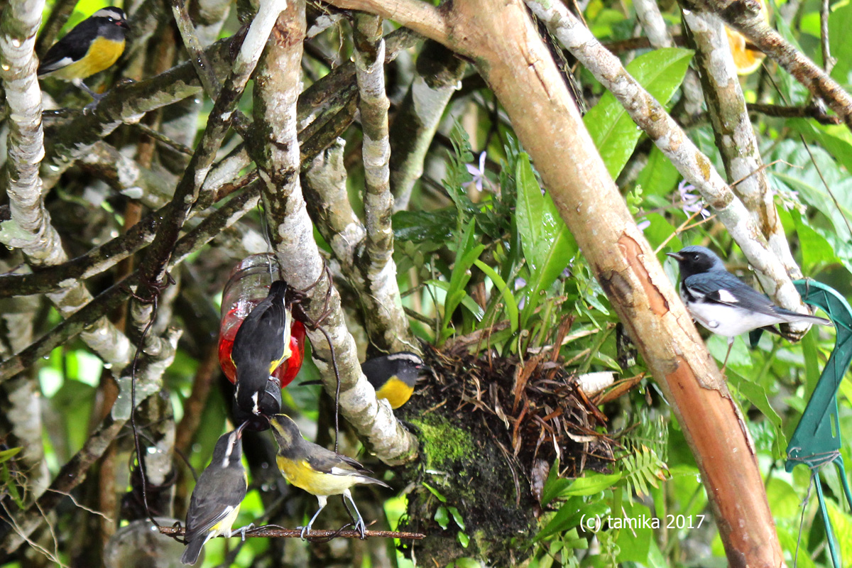 Bananaquits and Blue Warbler
