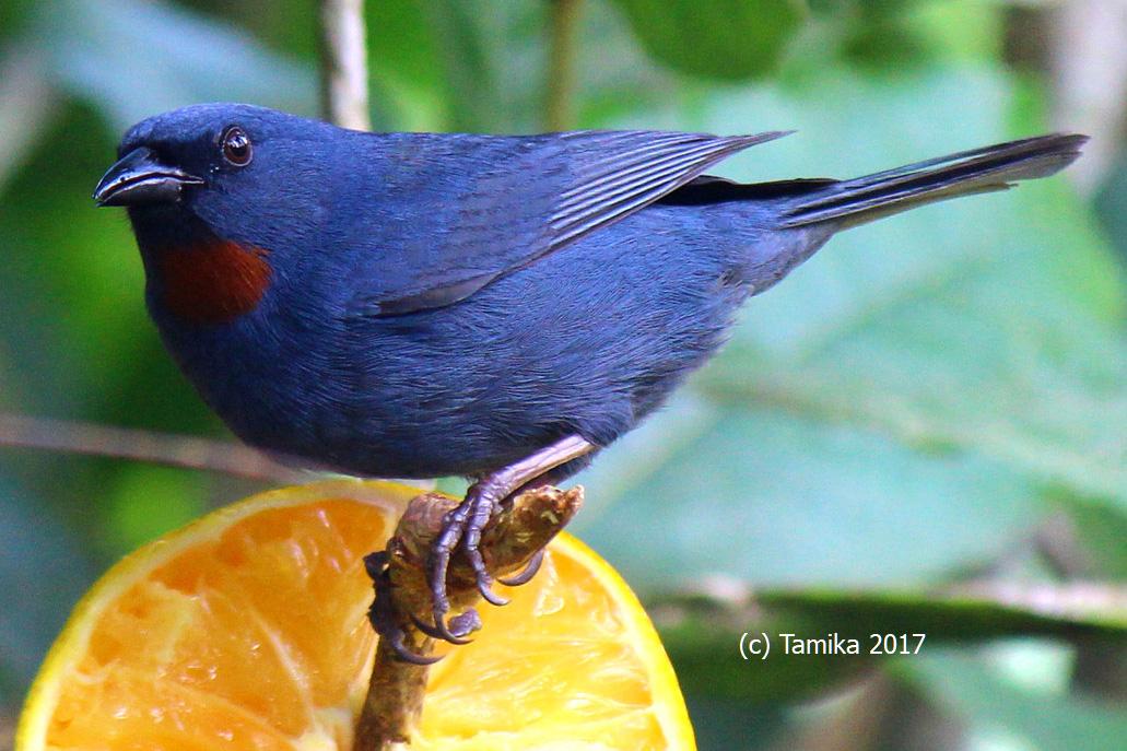 Orangequit