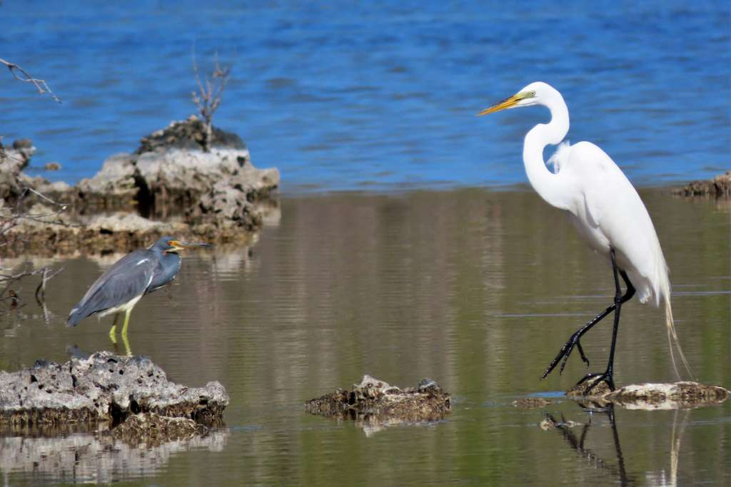 Tricolored Heron and Great Egret