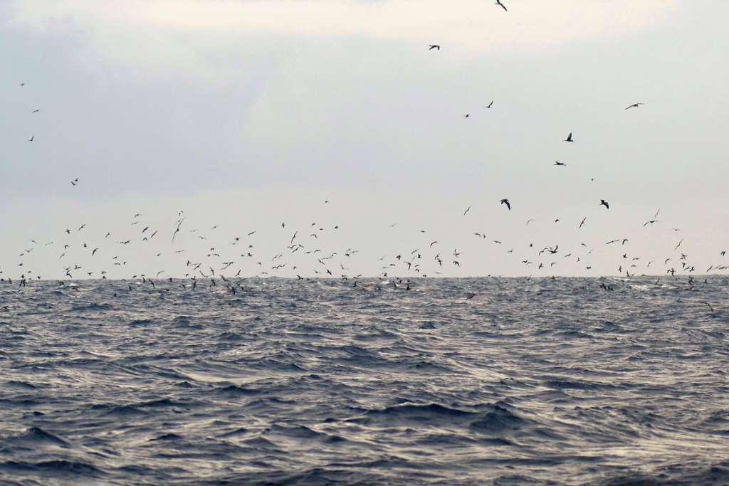 Seabird Flock off the Coast of Diamond Rock