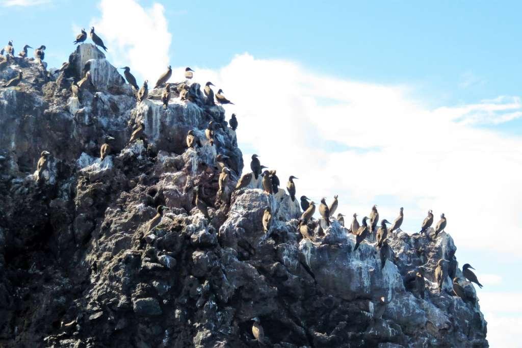 Brown Booby Colony on Diamond Rock