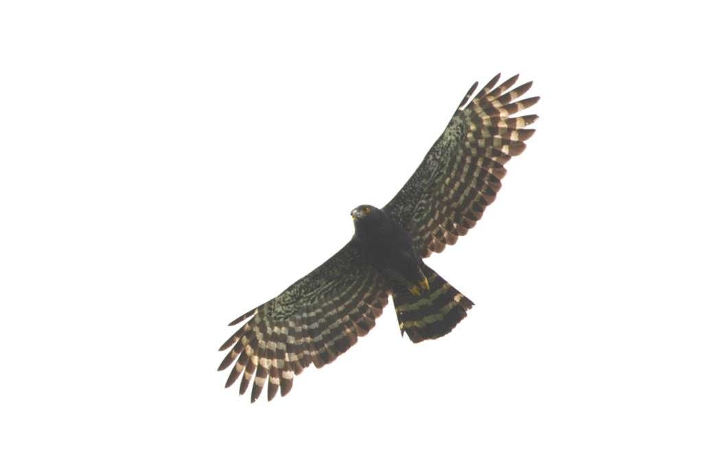 Black Hawk-Eagle