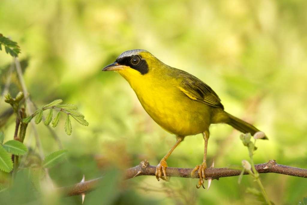 Masked Yellowthroat